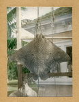 Hand colored photograph of a whiptail stingray from the Shipman album, 1916 by Charles Melville Shipman