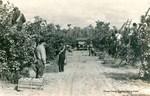 Dr. Phillips Citrus Company, circa 1930's