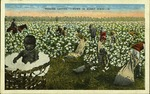 """""""Picking Cotton,"""" - Down in Sunny Dixie."""
