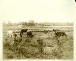Bethune-Cookman's cattle herd