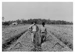 Andrew Duda, Sr. in celery fields, c.1935, Black and White