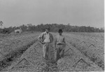 Andrew Duda, Sr. in celery fields, c.1935, Original