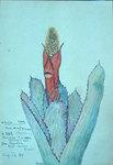 Aechmea Pineliana