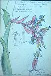 Billbergia Euphemiae