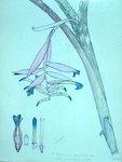 Billbergia Euphoniae