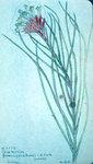 Guzmania Greminifolia