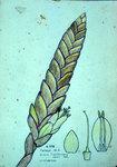 Vriesia Clausseniana