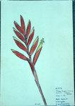 Vriesia CorinataX