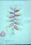 Vriesia Platynemia