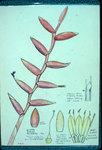 Vriesia Psittacina