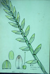 Vriesia Regnelli