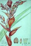 Vriesia Sceptrum